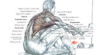 musculos remo polea baja