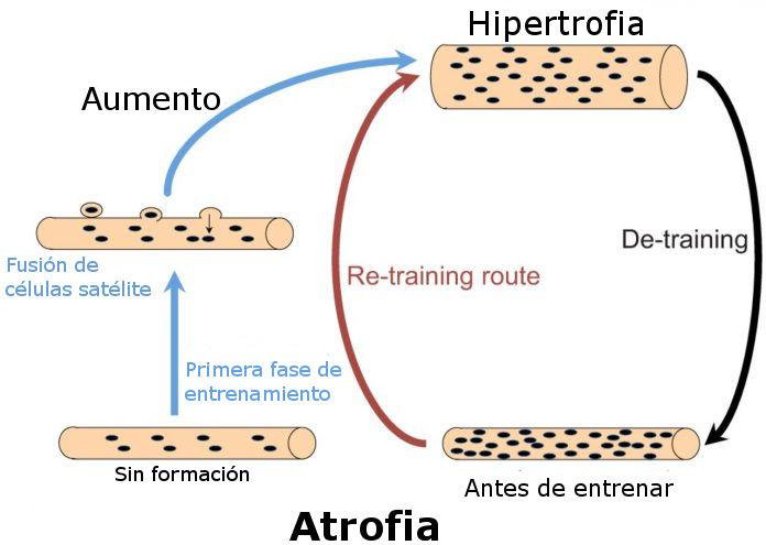 Hipertrofia muscul